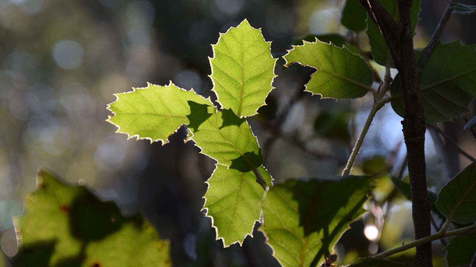 El canvi climàtic i la manca de gestió forestal acceleren la substitució de pins per alzines