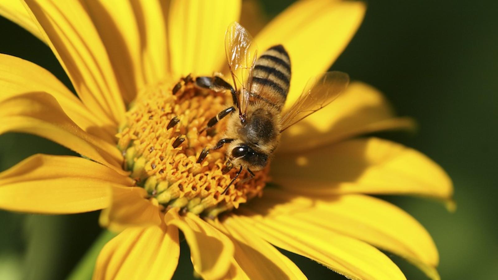 Els pesticides desorienten les abelles, que no saben trobar el seu rusc i moren / THINKSTOCK