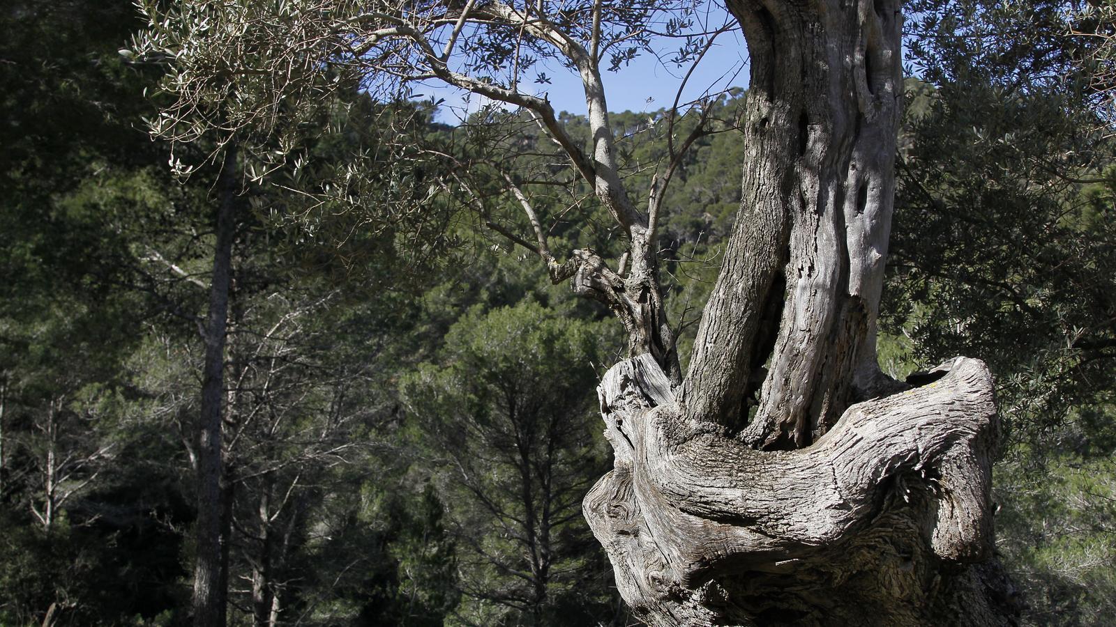 Una olivera entre un pinar en un dia de sol.