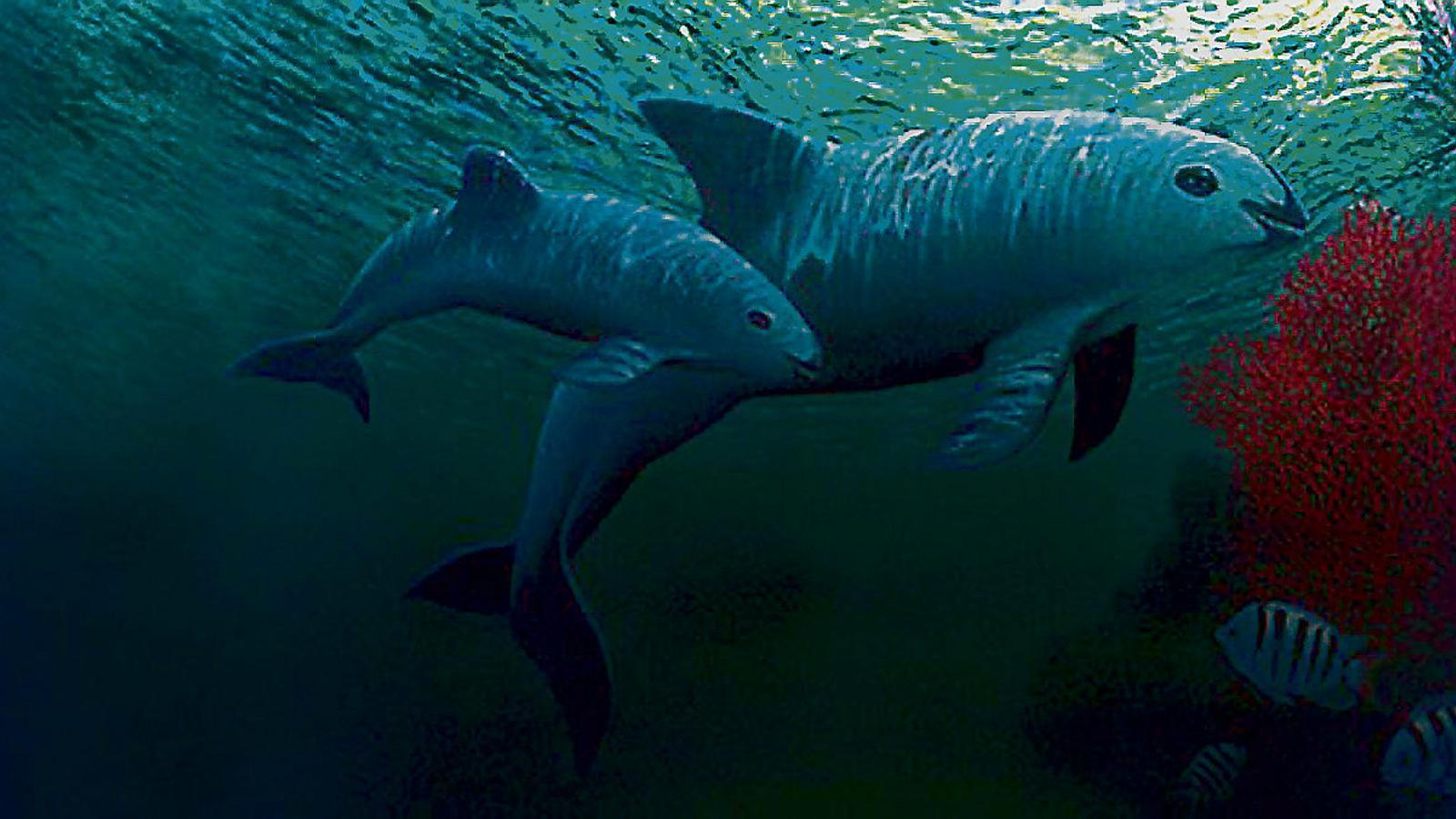 """La marsopa de Califòrnia, un cetaci endèmic del golf de Califòrnia que es coneix popularment com a """"vaquita"""", és el mamífer marí en estat més crític de l'actualitat. Els últims estudis asseguren que en queden menys de 20."""