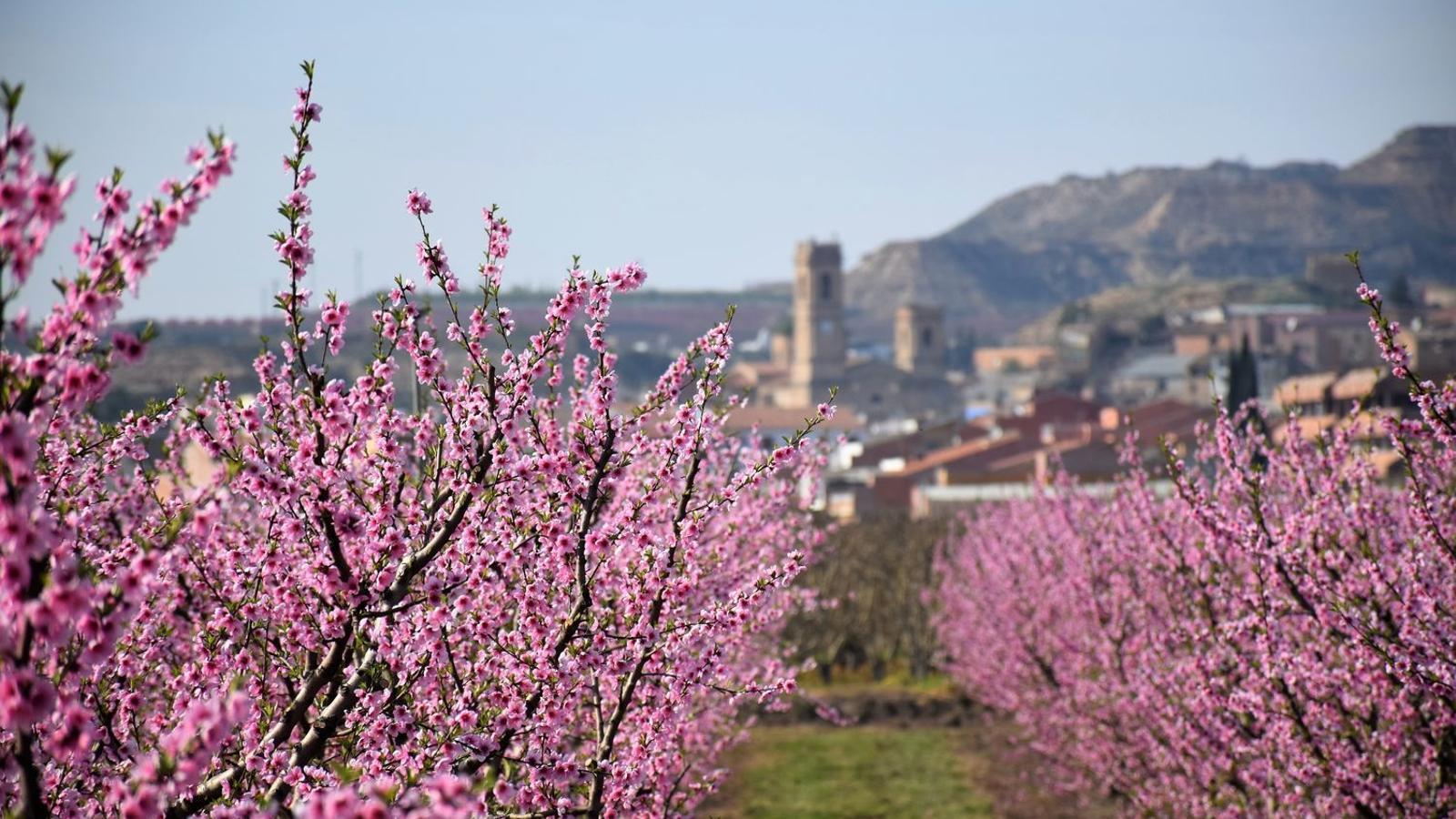 Presseguer florit a Aitona, Segrià, a principis de març