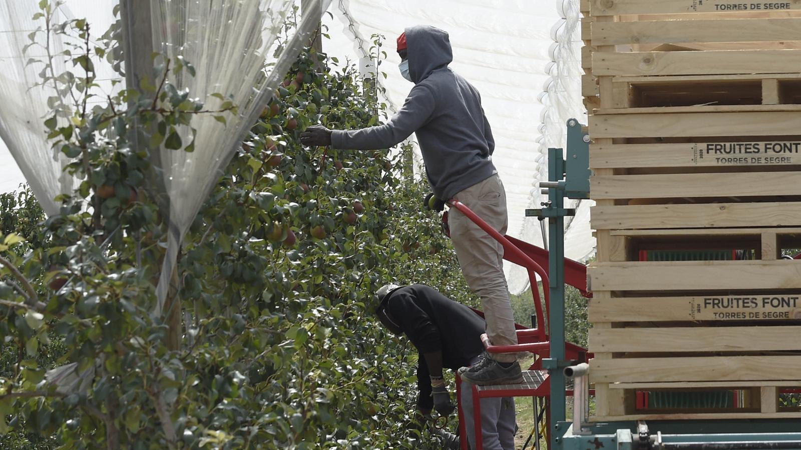 El sector calcula que per a la collita de la fruita calen uns 30.000 temporers.
