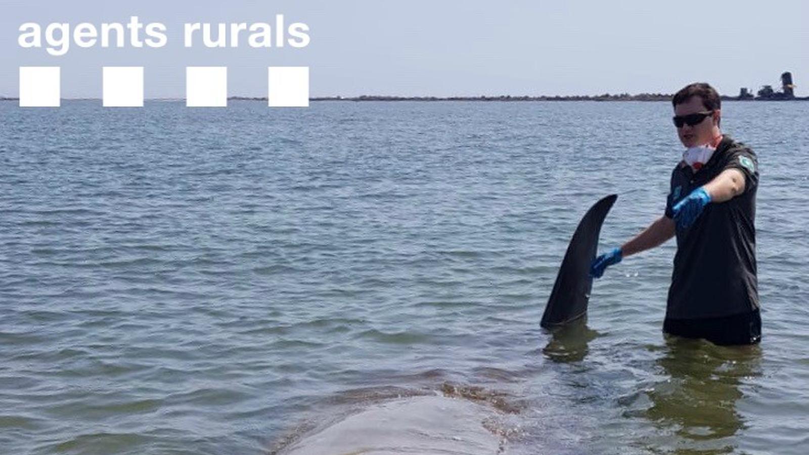 Els agents rurals han aconseguit rescatar una balena varada a l'Ebre