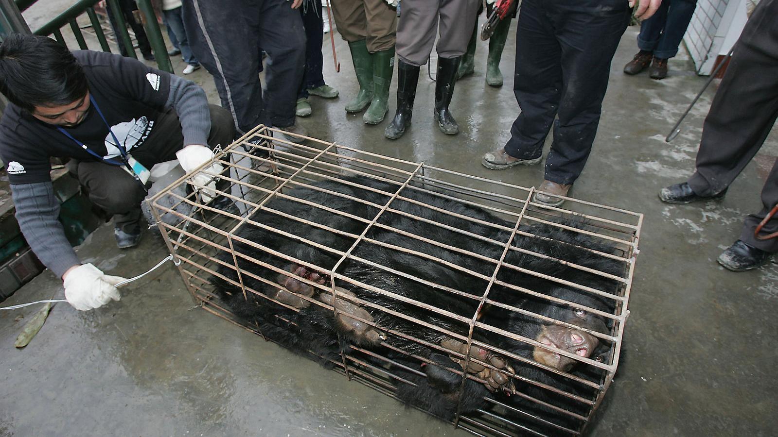 Imatge d'arxiu d'un ós engabiat després de ser rescatat d'una granja on li extreien la bilis a Chengdu, a la Xina.