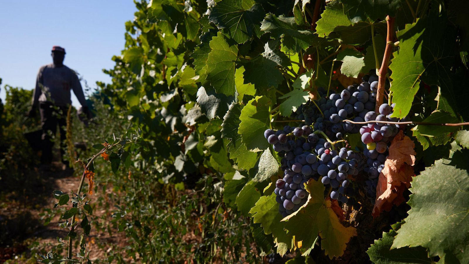 La collita de raïm donarà un vi excepcional en aroma i sabor