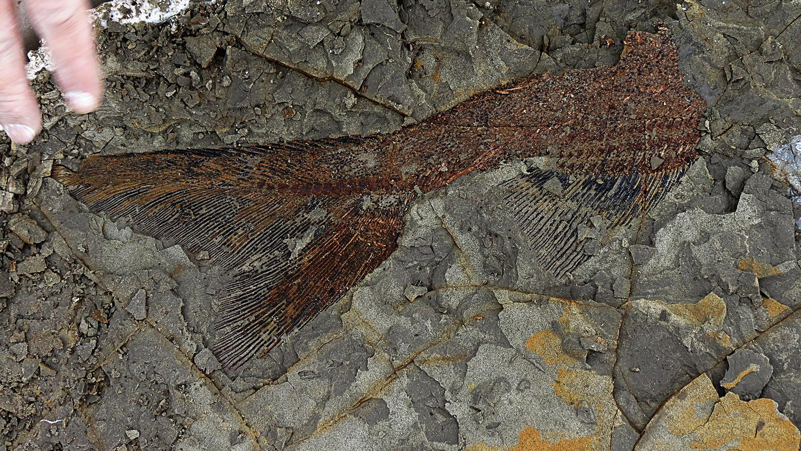 Captura de part d'un fòssil d'un peix de fa 66 milions d'anys perfectament conservat descobert per l'equip de Robert DePalma