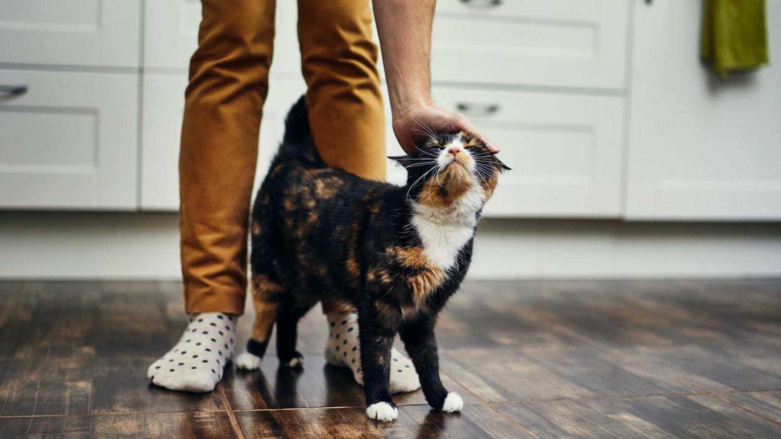 Els vincles afectius entre els gats i els seus cuidadors es consoliden durant  la fase inicial de la relació.