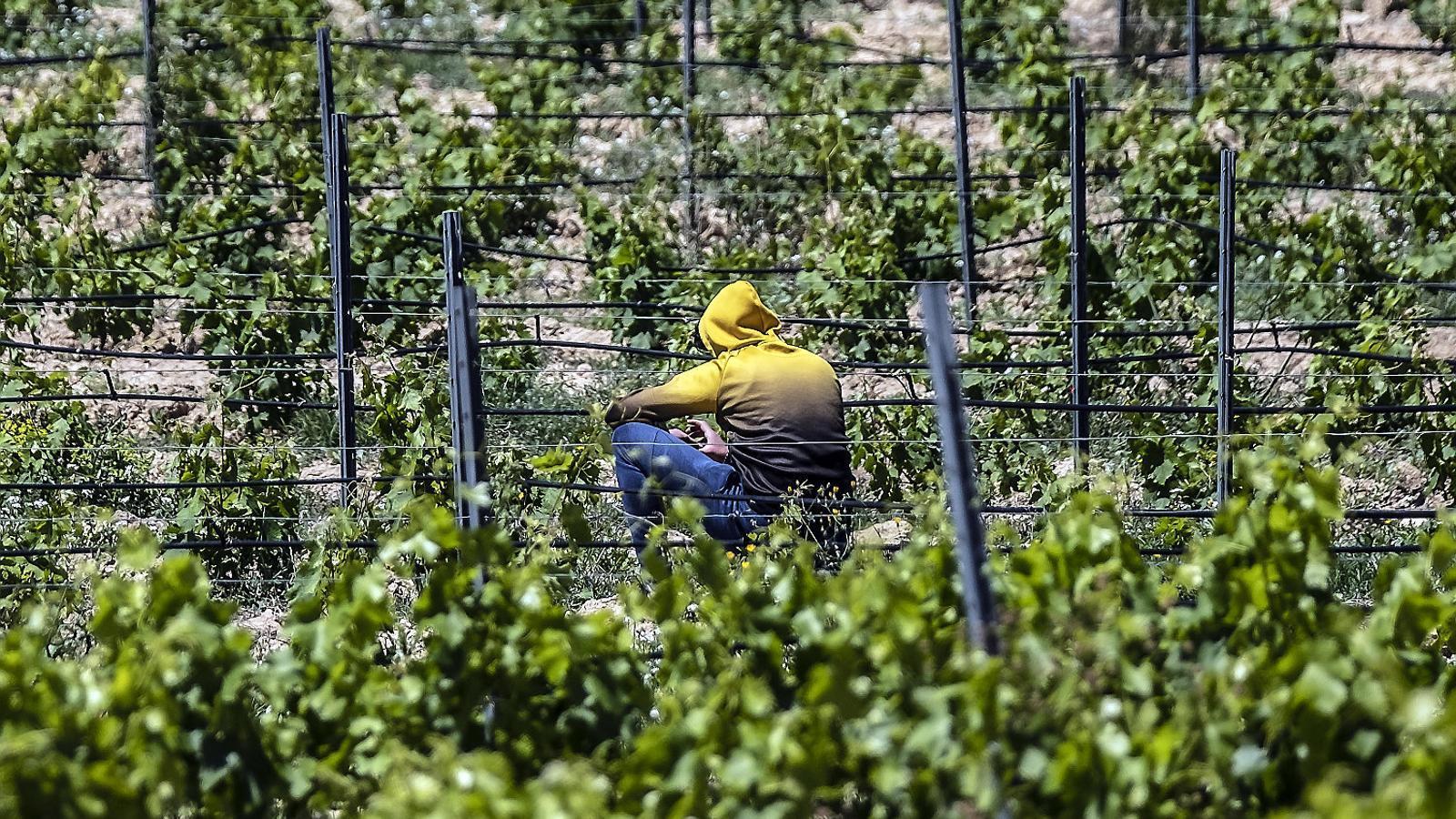Un temporer en una vinya de la DO Terra Alta.