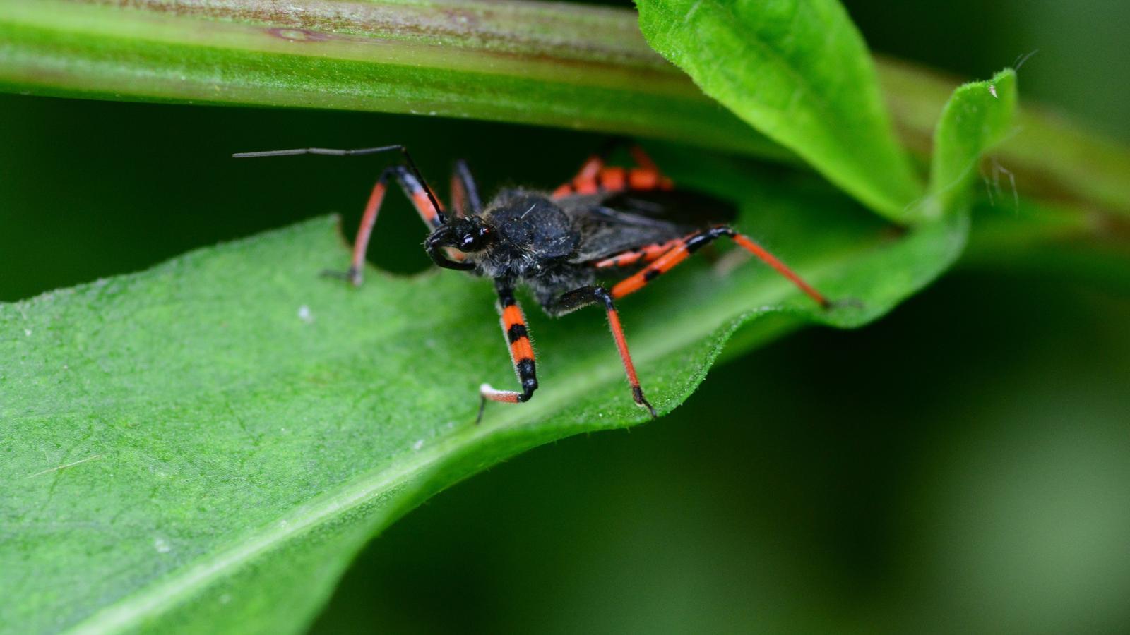 Las xinxes son insectes transmissors de la malaltia
