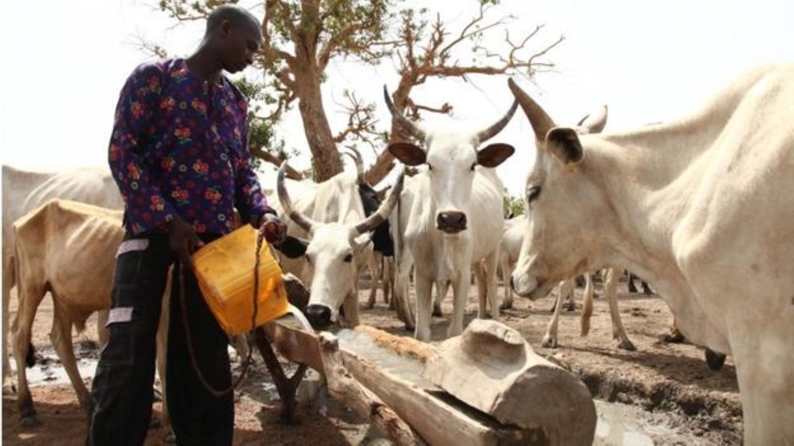 Un pastor fulani dona aigua a part del seu ramat.