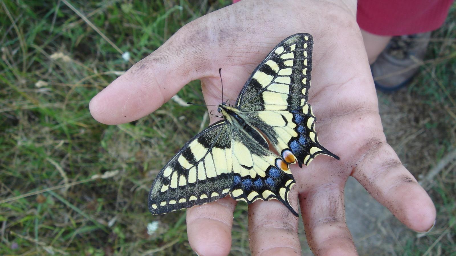 Una de les papallones que surt al llibre de Julià Guillamon 'Les cuques'