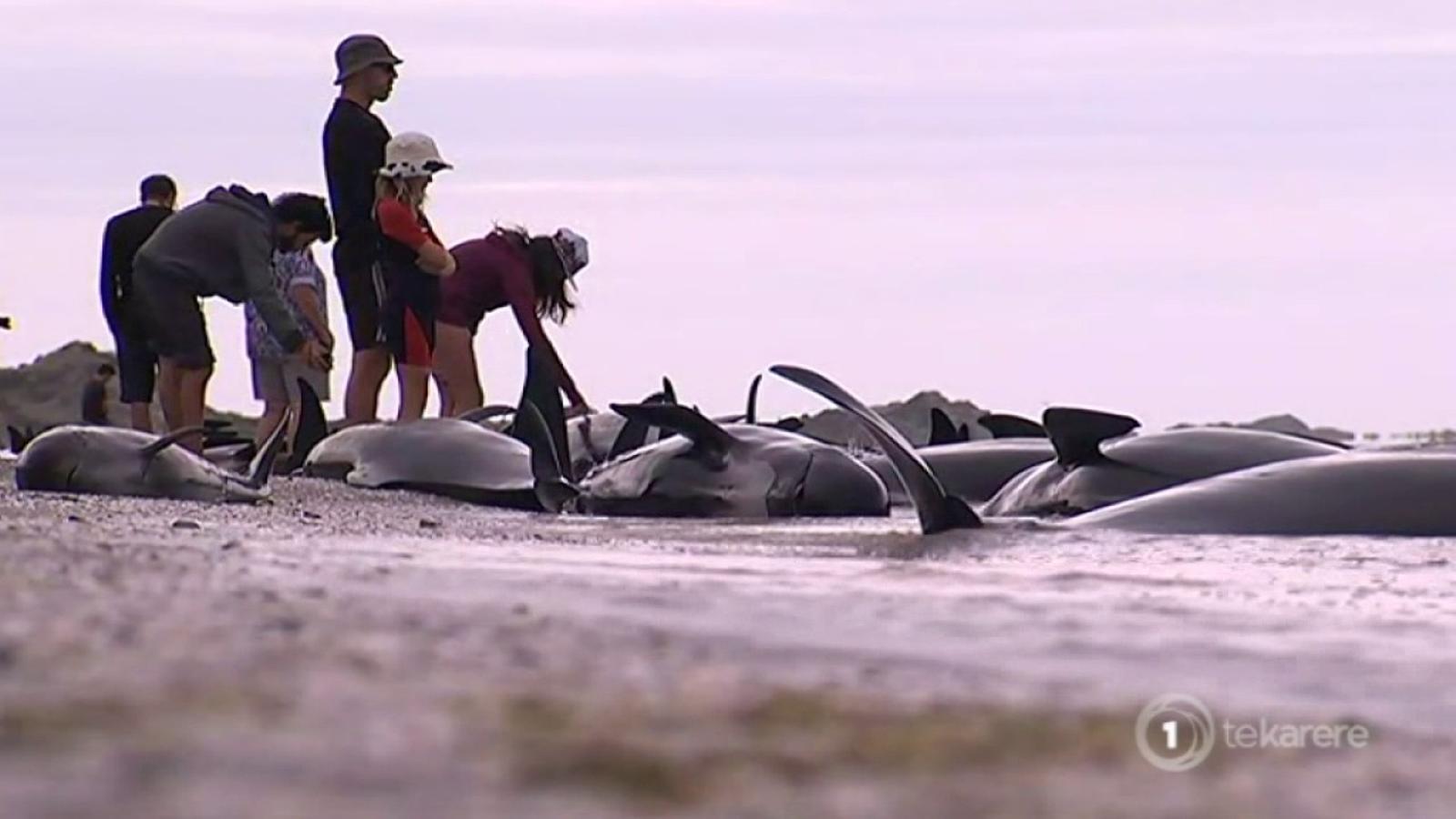 Unes 400 balenes encallen en una platja a Nova Zelanda.