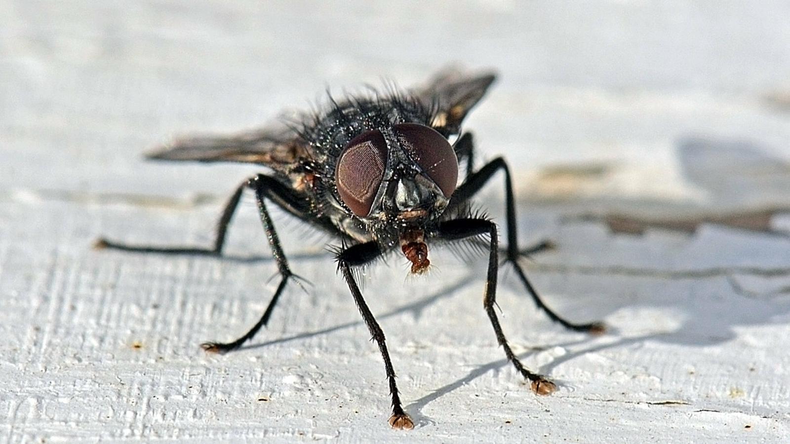 Un exemplar de mosca negra, com la que està proliferant en alguns rius, entre els quals hi ha l'Ebre.
