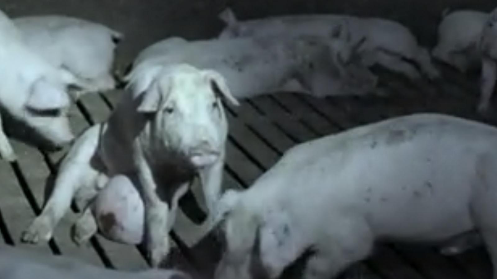 El moment més polèmic del 'Salvados' sobre la indústria càrnia