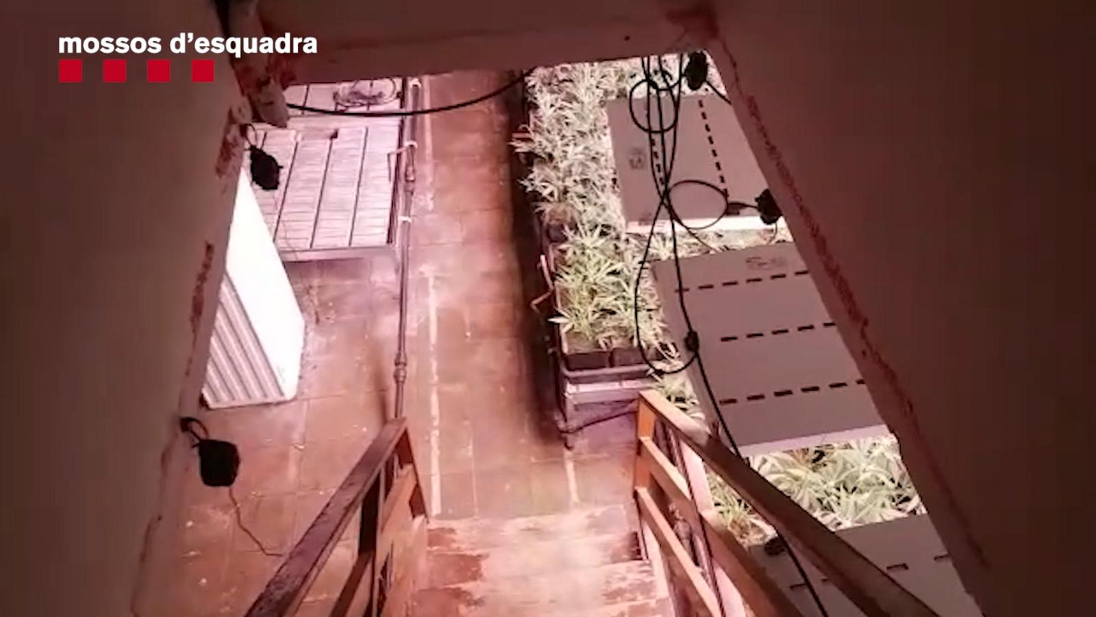Cau un grup criminal que produïa sis milions d'euros anuals en marihuana a Catalunya