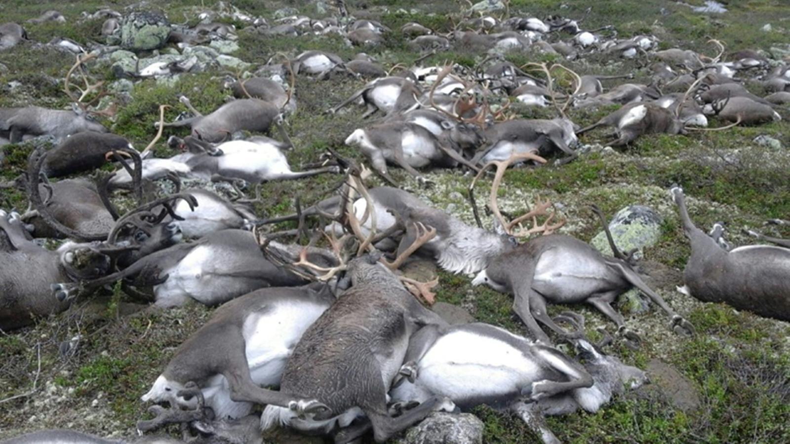 Un llamp mata més de 300 rens a Noruega