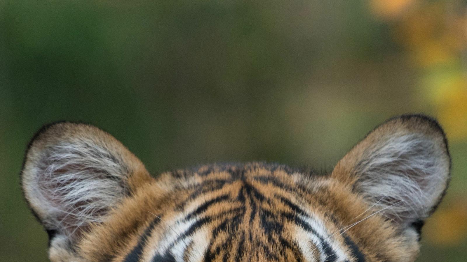 Un tigre del Zoo del Bronx, positiu per coronavirus