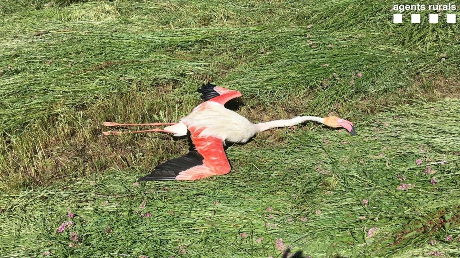 El cadàver del flamenc. / AGENTS RURALS
