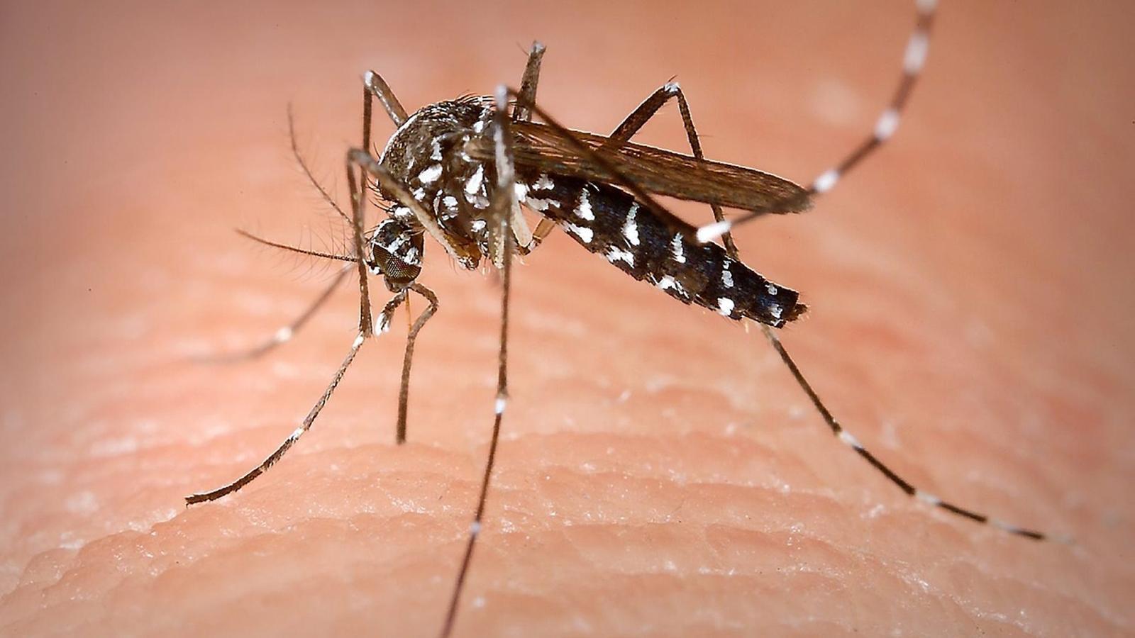 El moscard, que té una picada molt més agressiva i molesta que la dels comuns, prolifera en zones on abans no hi era present.