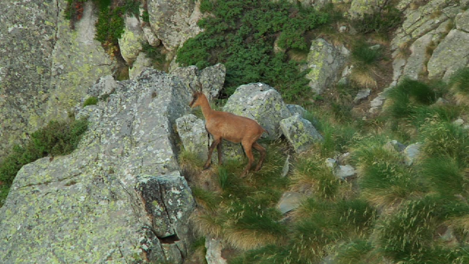 Andorra permet enguany 119 captures d'isards / ARXIU ANA