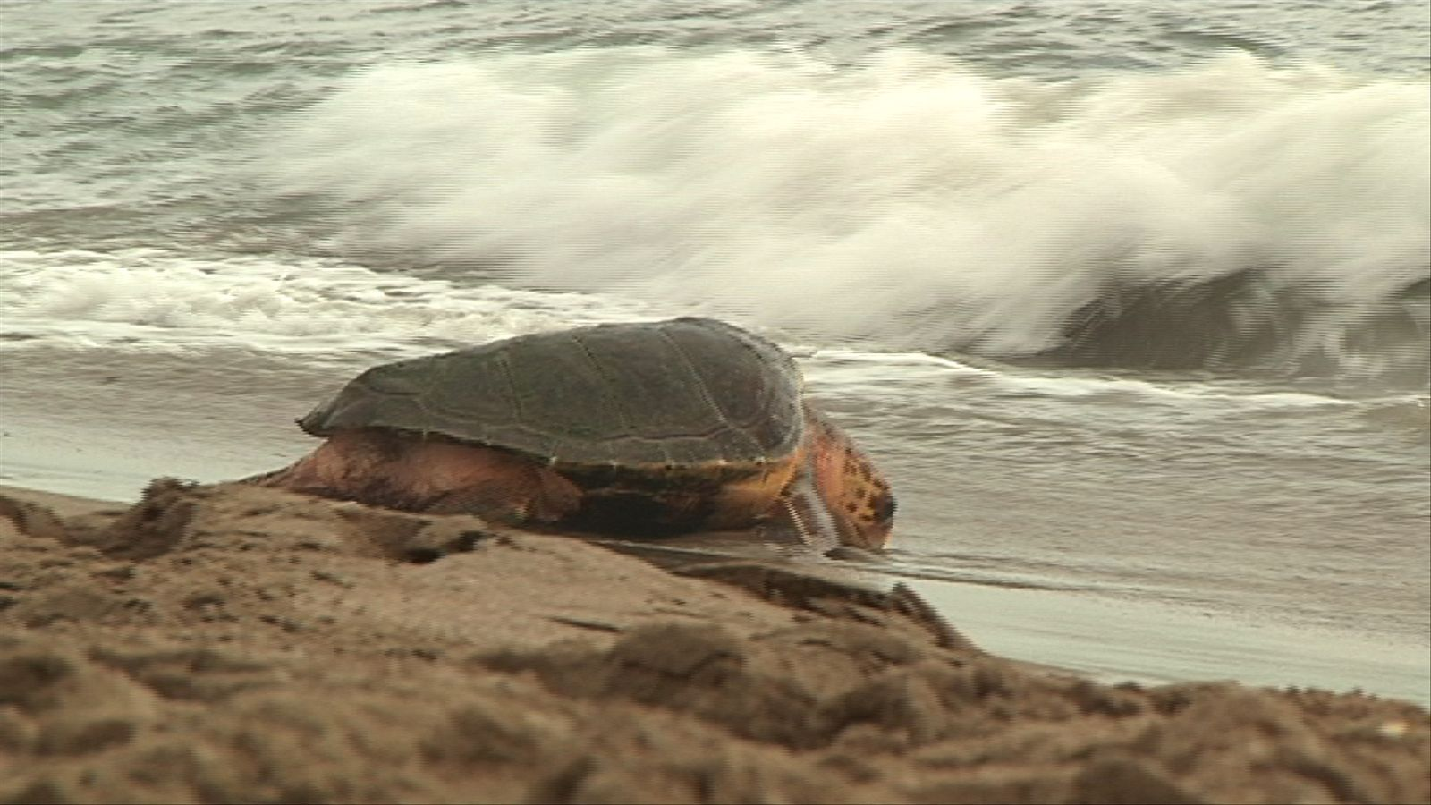 L'alliberament de vuit tortugues al Prat tanca una temporada en què el CRAM n'ha salvat unes 60