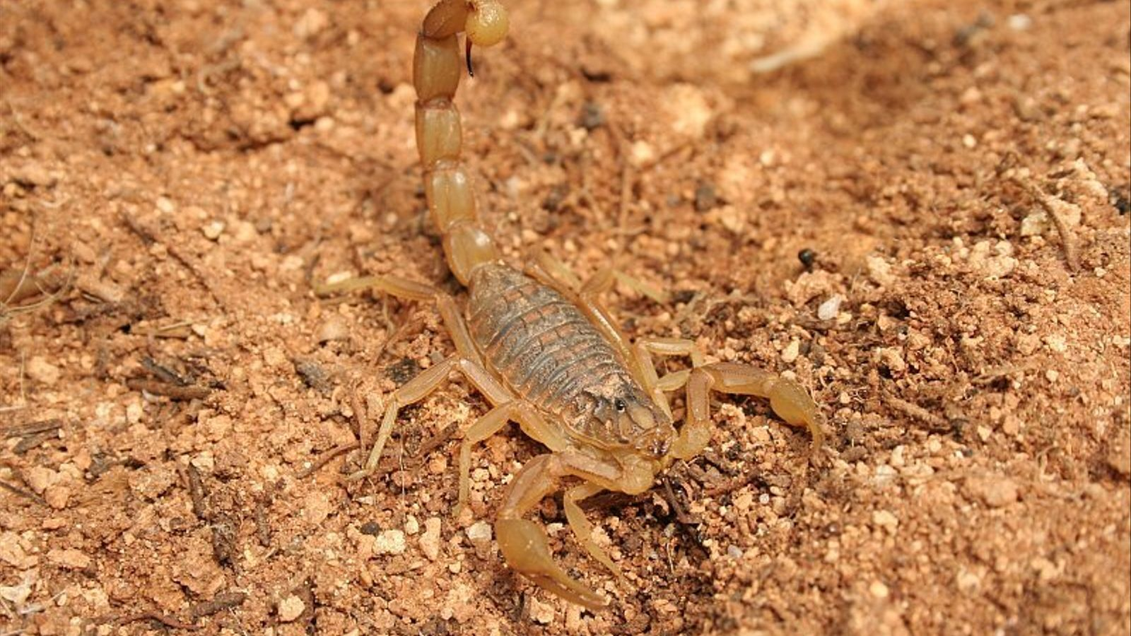 La picada de l'escorpí groc o  'Buthus occitanus' causa un dolor molt intens i pot dur més complicacions