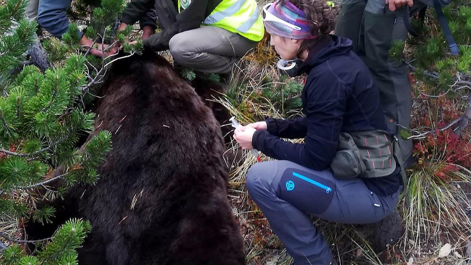 Capturen l'os Goiat a l'Aran per canviar-li les bateries del GPS