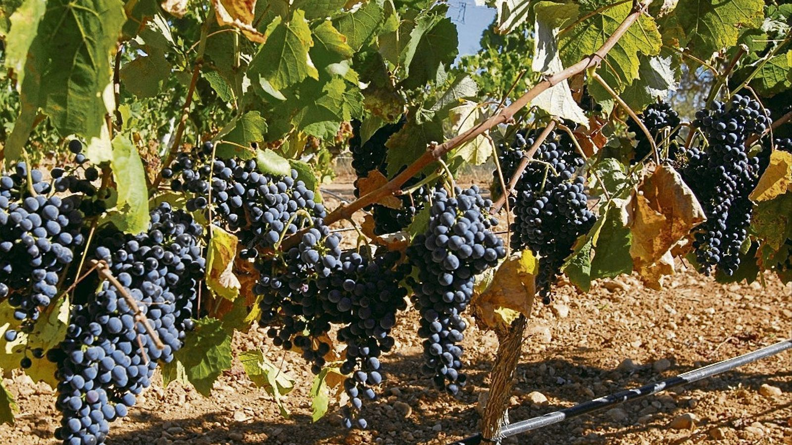 'Vinyòvol' recull les paraules de   La vinya i el vi