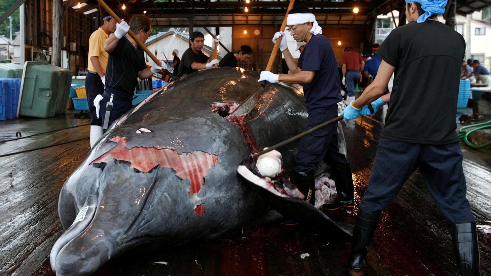 El Japó tornarà a capturar balenes amb objectius comercials