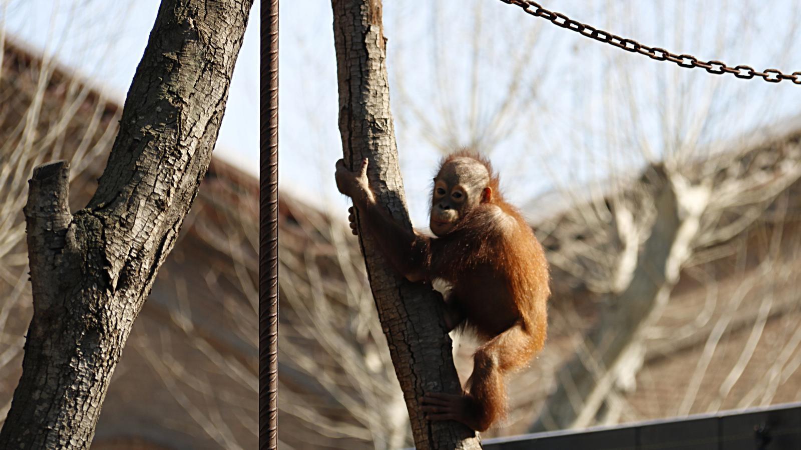 L'espai dels orangutans del Zoo de Barcelona opta a un premi FAD d'arquitectura
