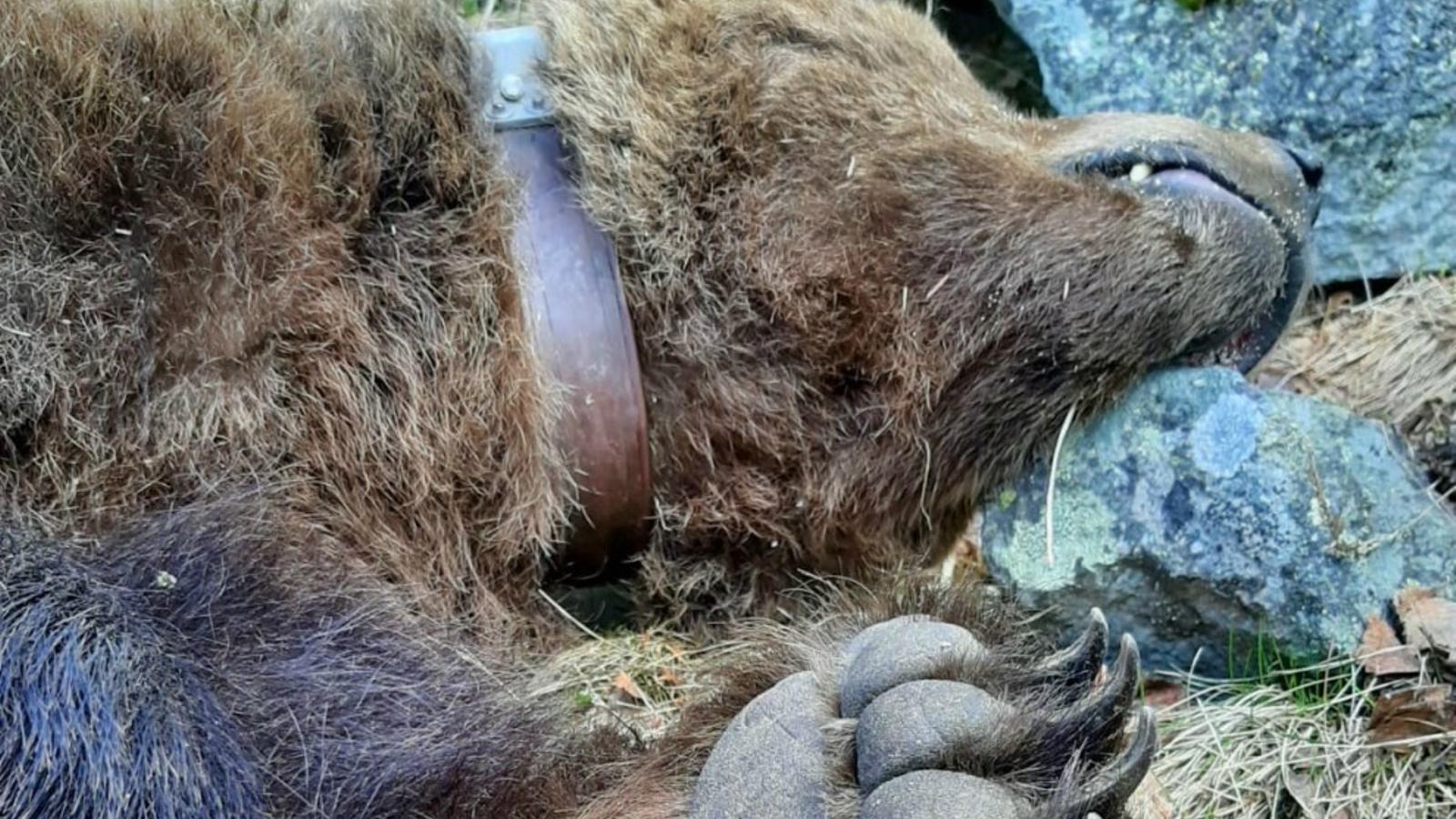 L'os Cachou, trobat mort el passat 9 d'abril. / AGENTS RURALS DE LA GENERALITAT