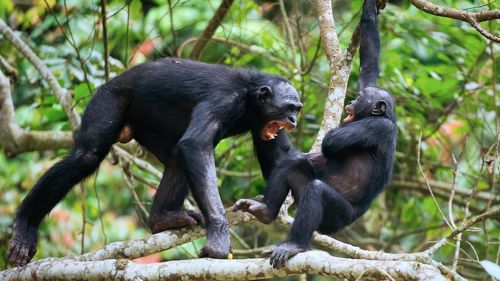 Els ximpanzés són, després de l'home, els animals més violents del planeta. Però només maten per protegir el seu territori