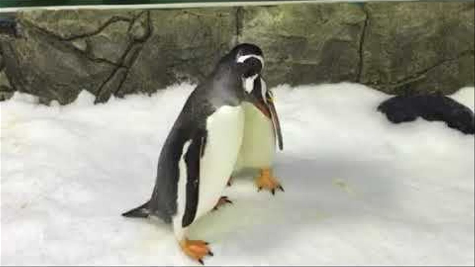 L'Sphen i el Magic, els pingüins gais d'Austràlia
