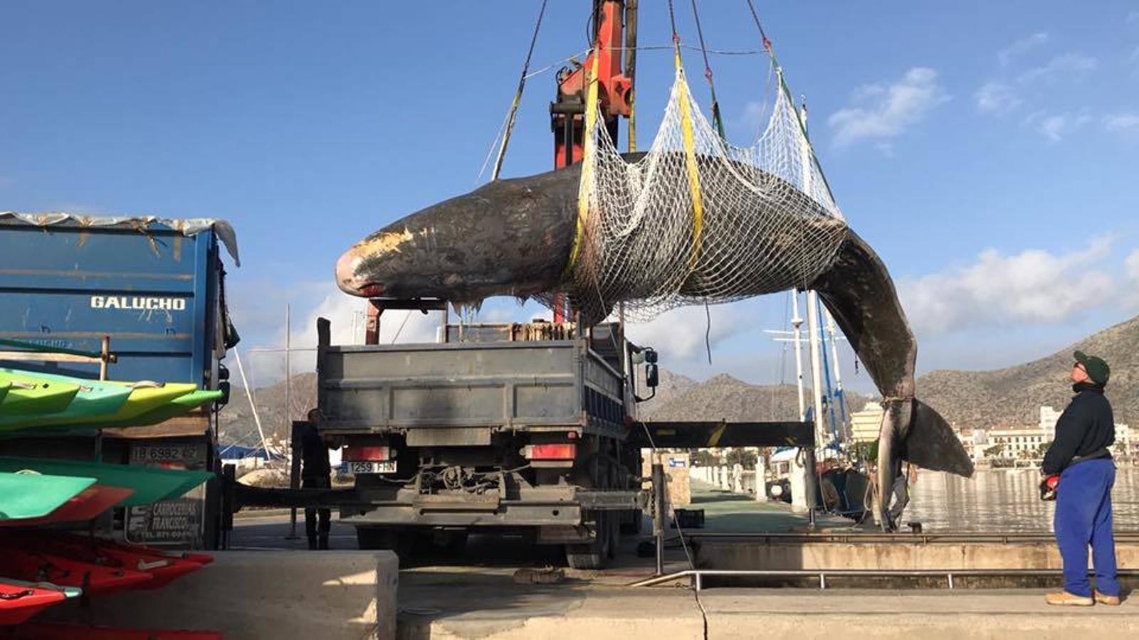 Un cadàver de catxalot de 6 tones es retirat del Port de Pollença