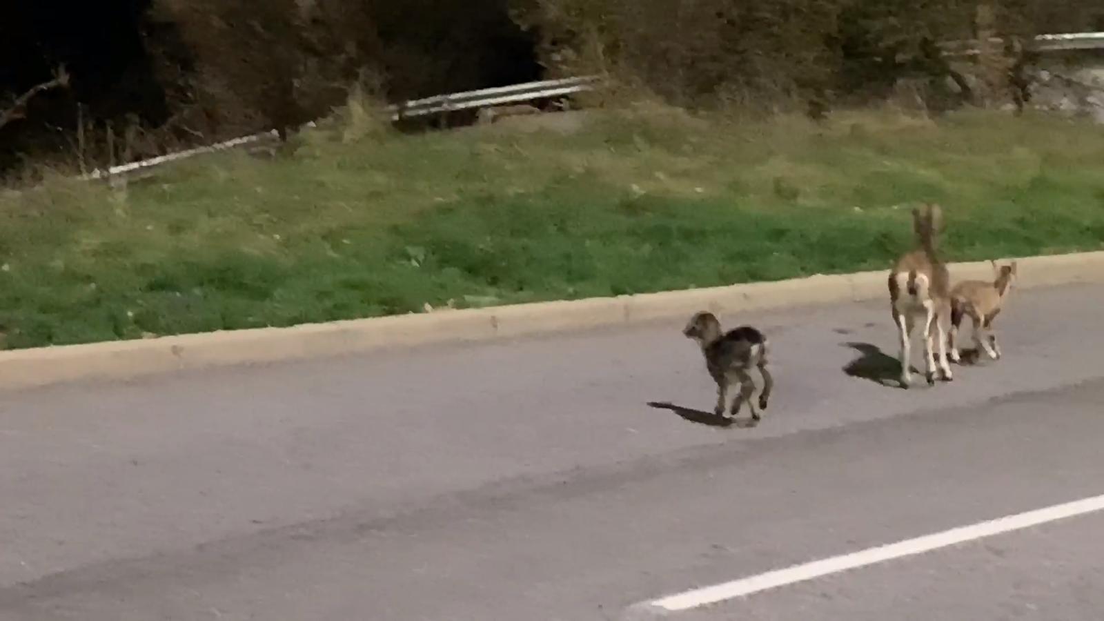 Aquests dies alguns animals han pres les carreteres