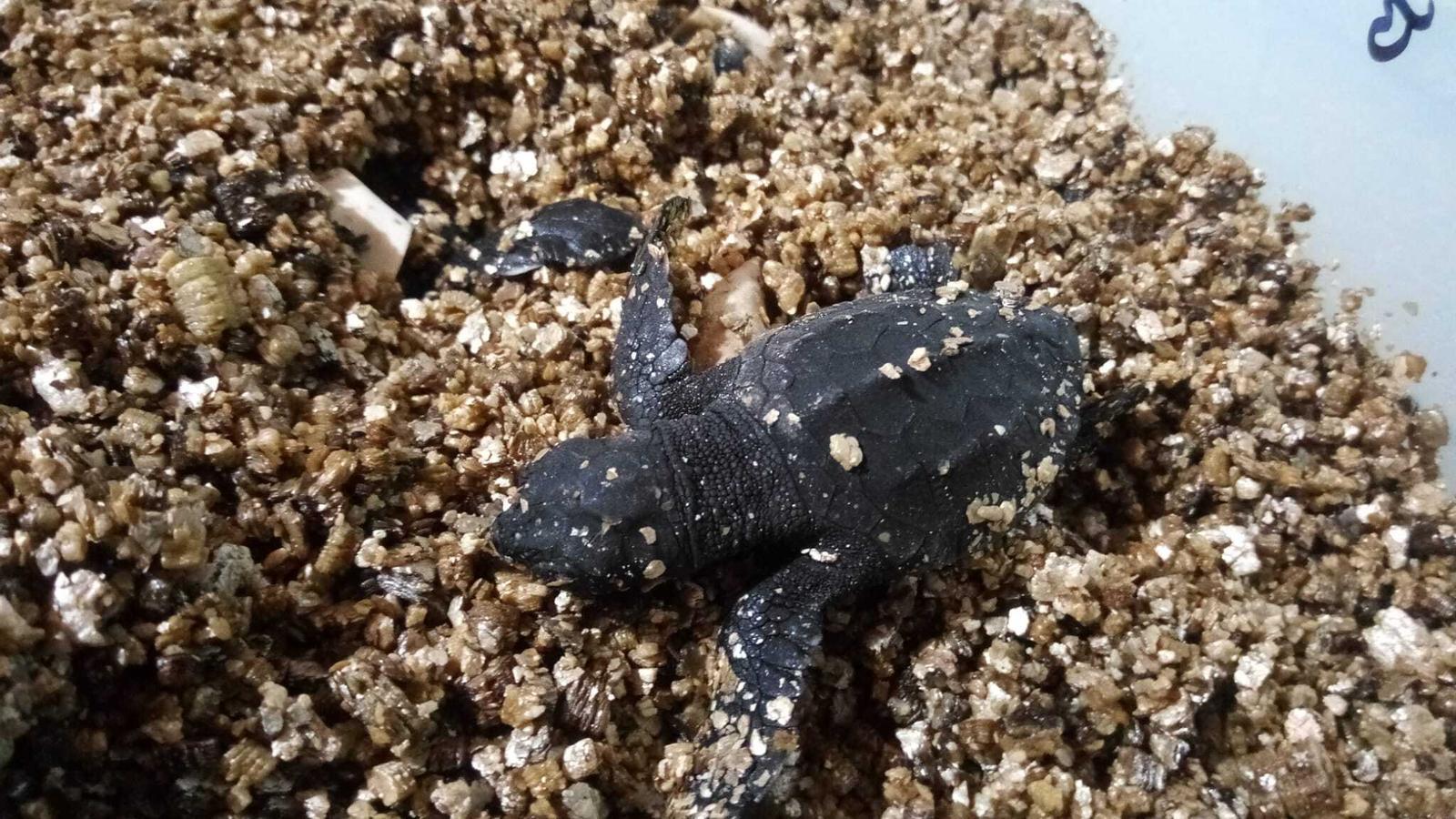 Una de les tortugues que han nascut.