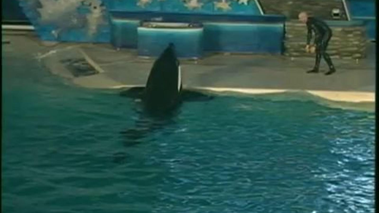 Una orca ataca el seu entrenador en un delfinari de San Diego