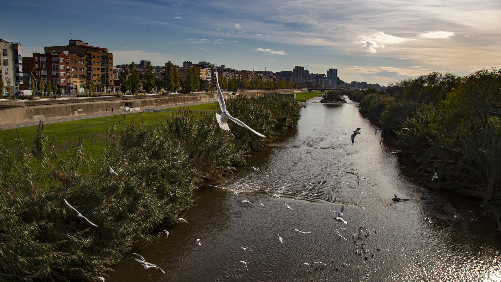 Retornar la fauna natural del riu Besòs costarà dos o tres anys