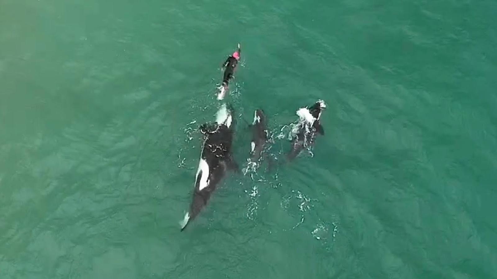La reacció d'una nedadora quan l'envolten tres orques a Nova Zelanda