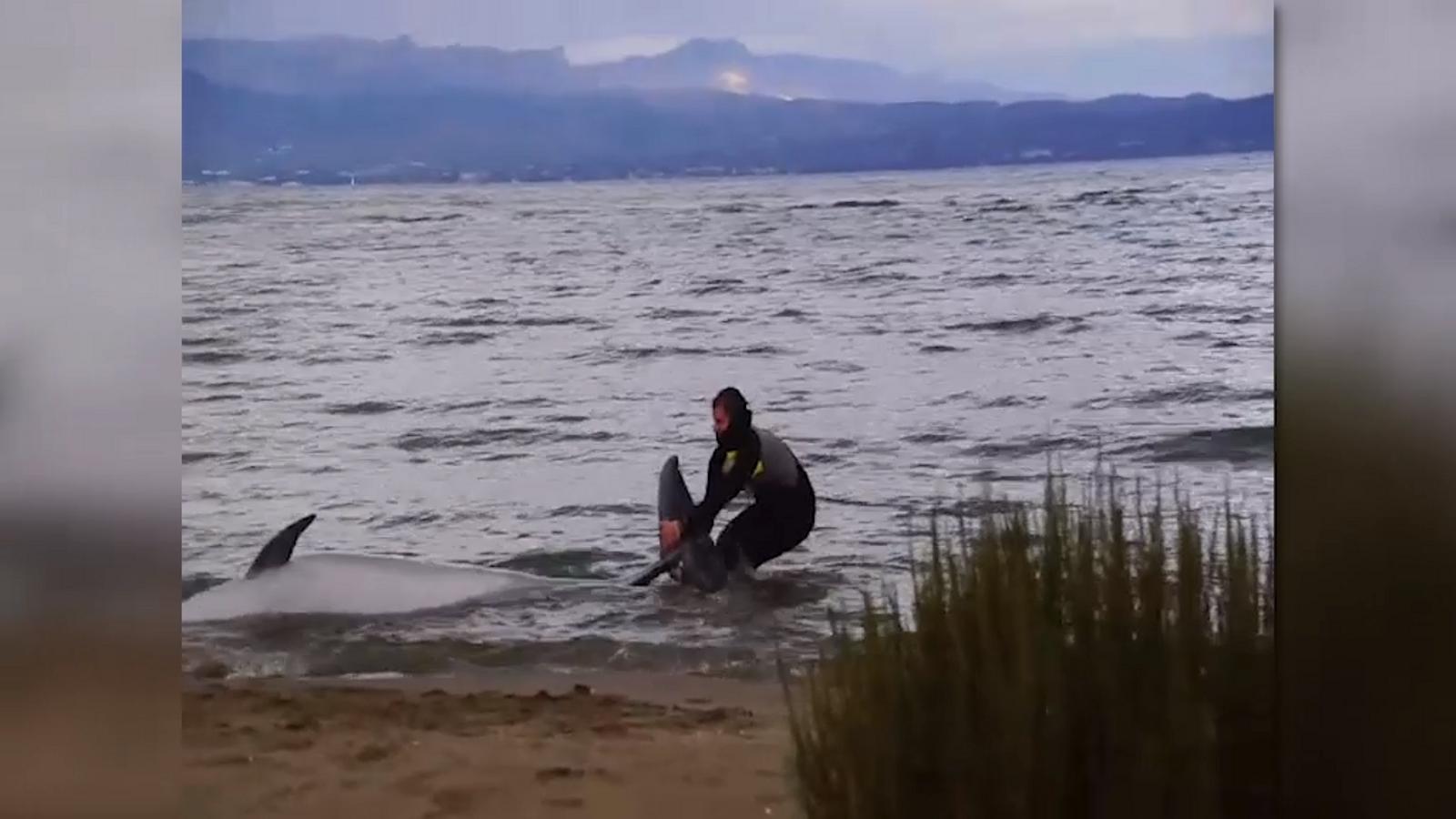 Rescaten un dofí que havia quedat embarrancat a la platja de Riumar, a Deltebre