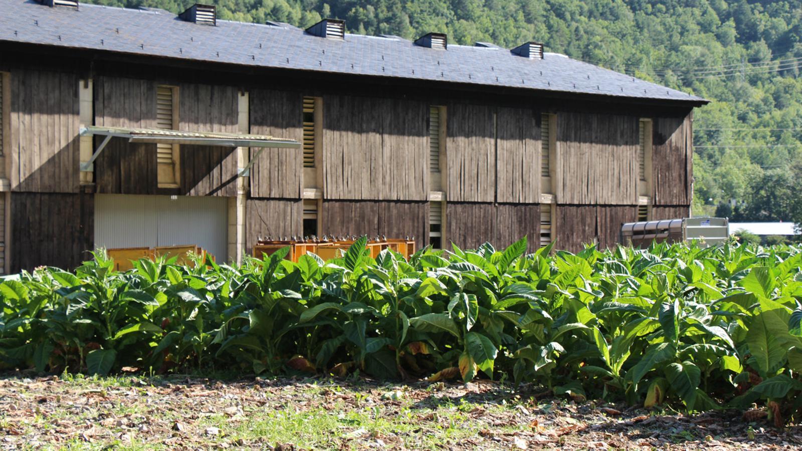 Una plantació de tabac