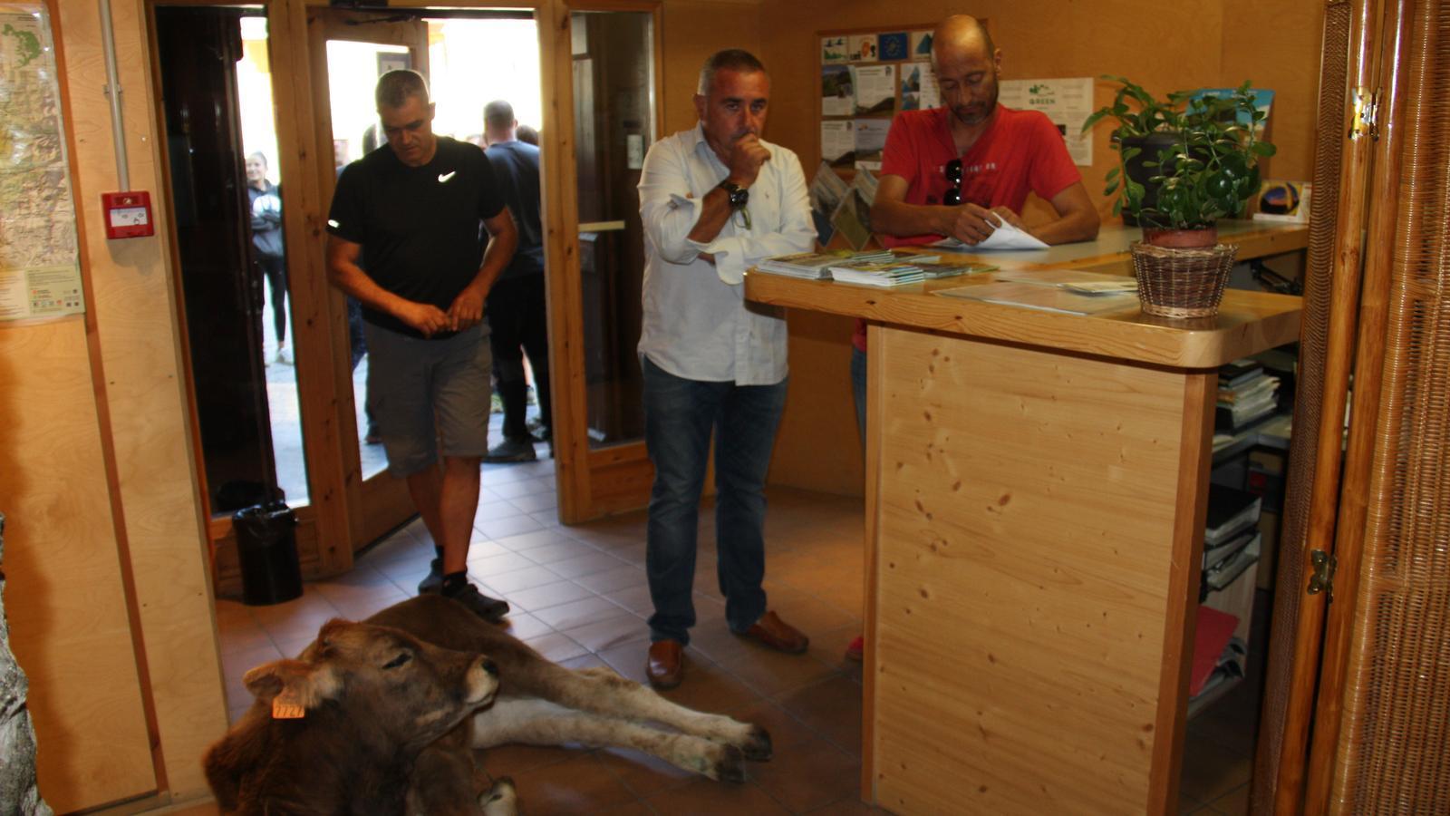 Deixen un vedell ferit a l'oficina del Parc Natural de l'Alt Pirineu per protestar contra els atacs dels ossos
