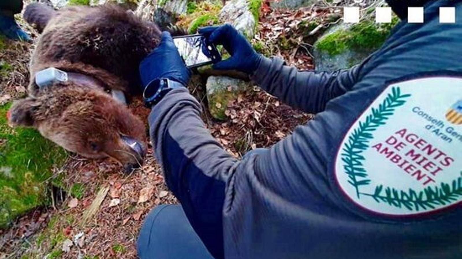 Els Mossos detenen un home relacionat amb la mort per enverinament de l'ós Cachou