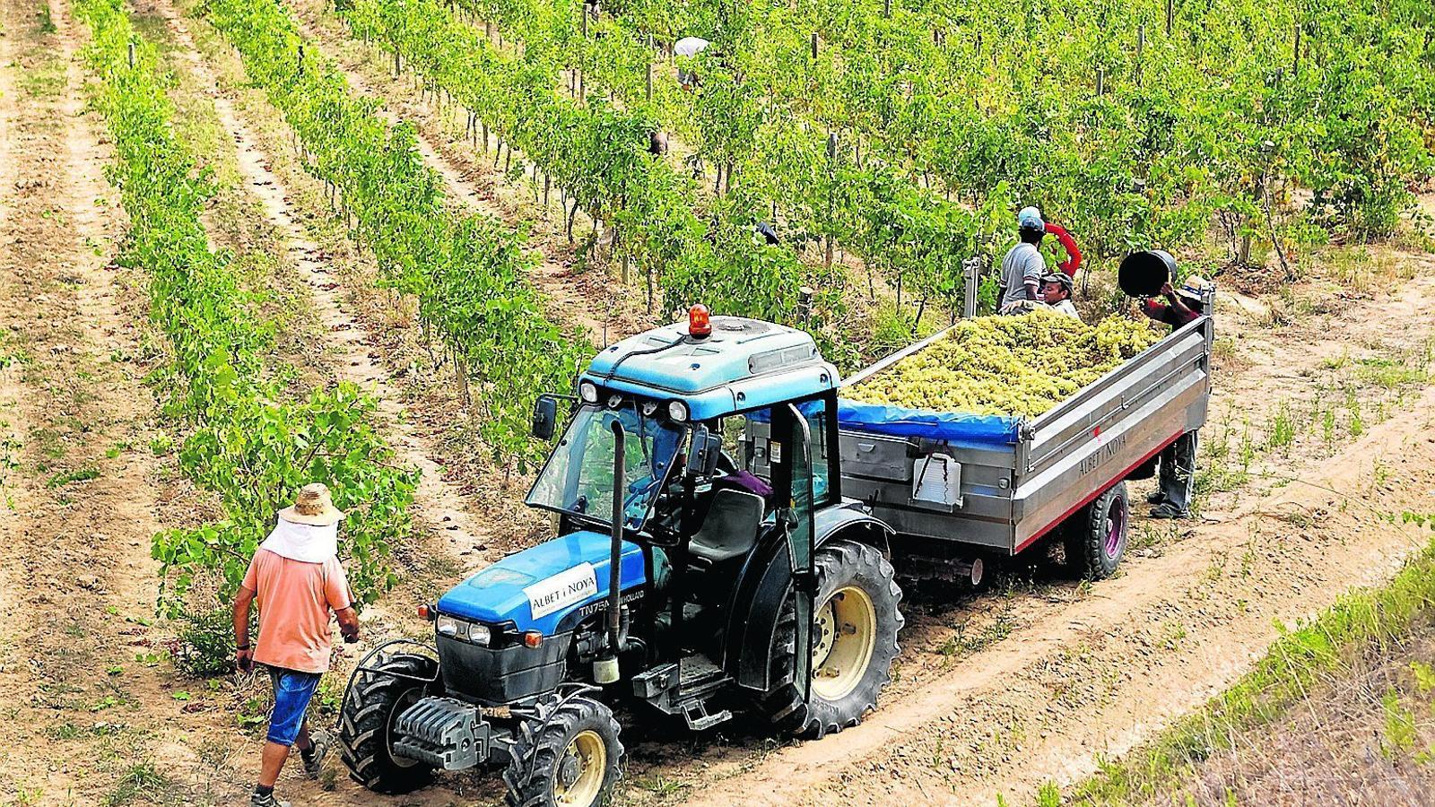 LES HECTÀREES DE CULTIUS ECOLÒGICS CONTINUEN CREIXENT  La superfície ecològica de Catalunya està dominada per la vinya -com aquests terrenys al Penedès-, que suposen actualment 5.300 hectàrees. El creixement de la vinya ecològica ha tingut un gran impacte en aquest sector. Durant l'exercici del 2011, el nombre de cellers va créixer un 25%.