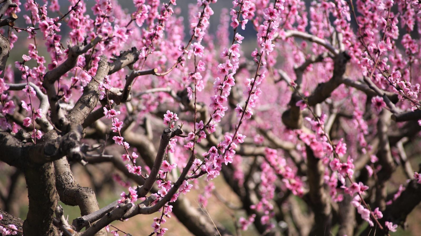 Resultat d'imatges de arbres florits Lleida