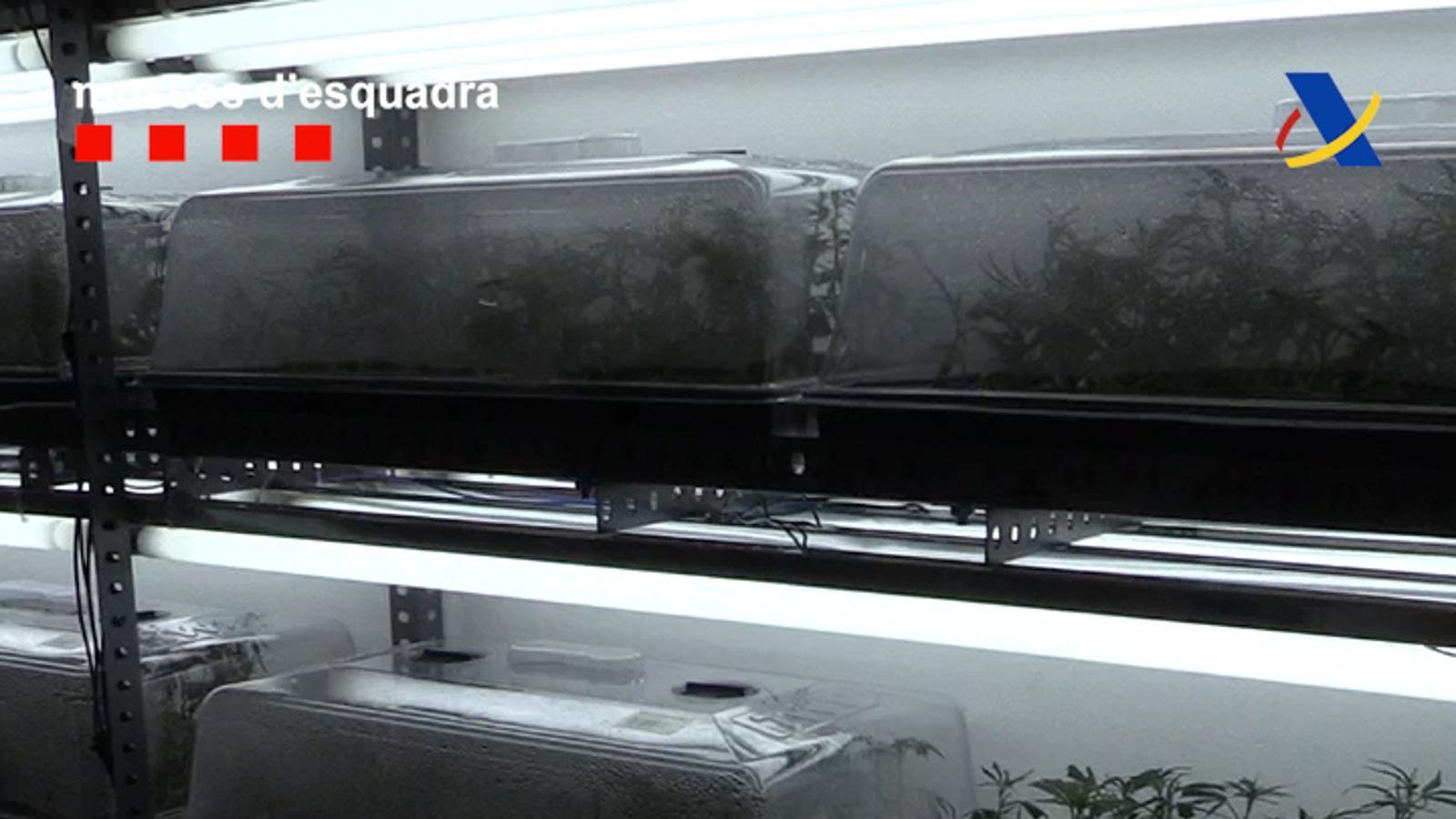 Els Mossos han trobat 20.000 esquetxos de marihuana envasats en cubetes de metacrilat a un negoci de jardineria
