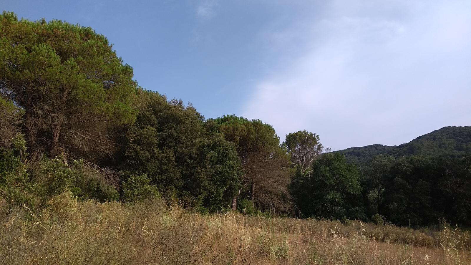 Els boscos del Maresme continuen decaient