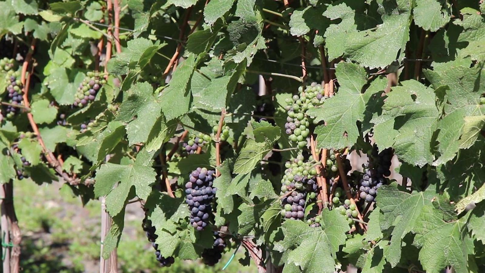 Vinyes d'Andorra