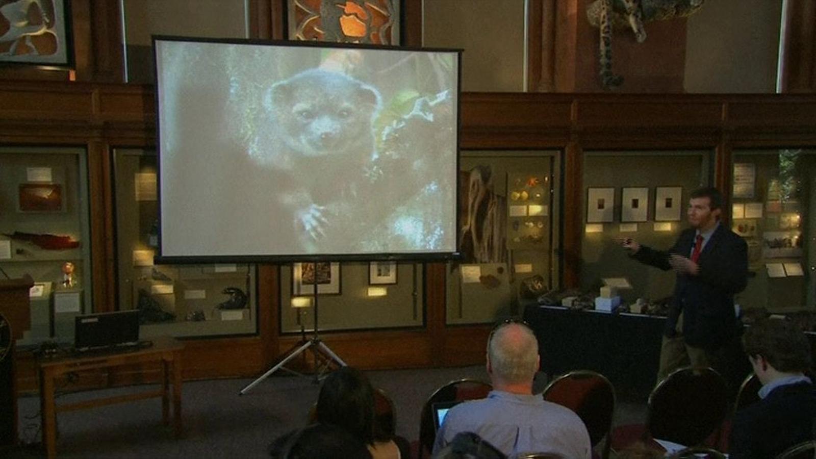 Descobreixen una nova espècie de mamífer, l''olinguito'
