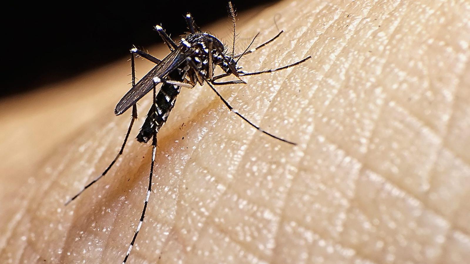 PROBLEMA SANITARI  El mosquit tigre és un vector transmissor de malalties com el dengue.